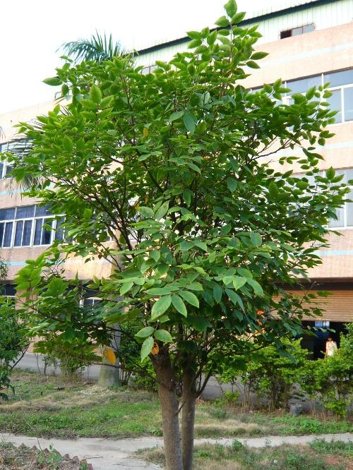 新移植的芒果树,尽管身材矮小,但浓密的绿叶却在向世人宣誓它的存在.