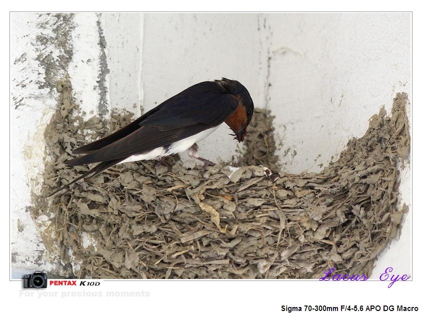 春天燕子鸟窝图片
