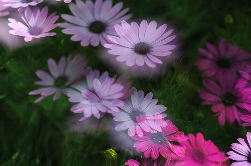 春天的花儿--小菊花(多重曝光11p)
