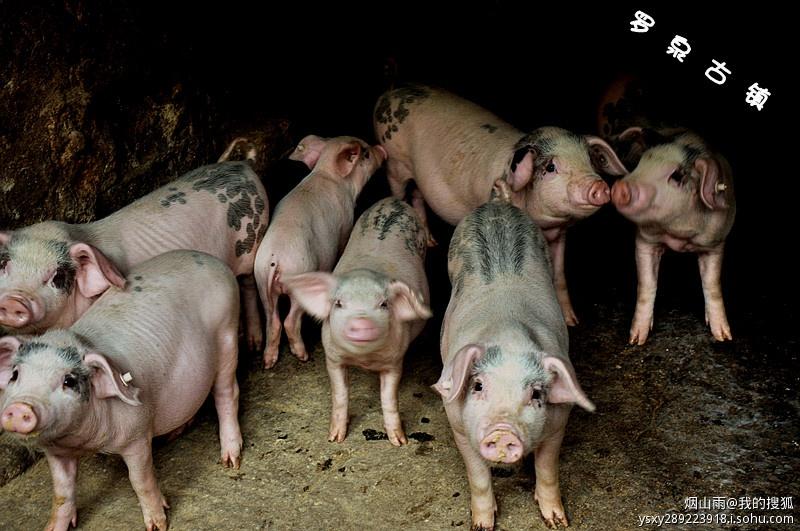 我们还看到了刚出生不久的小猪仔,那些粉粉的花斑猪真的很可爱.
