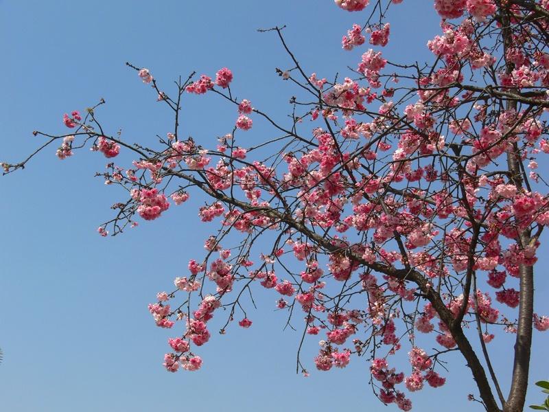 春天的花儿--樱花(16p)