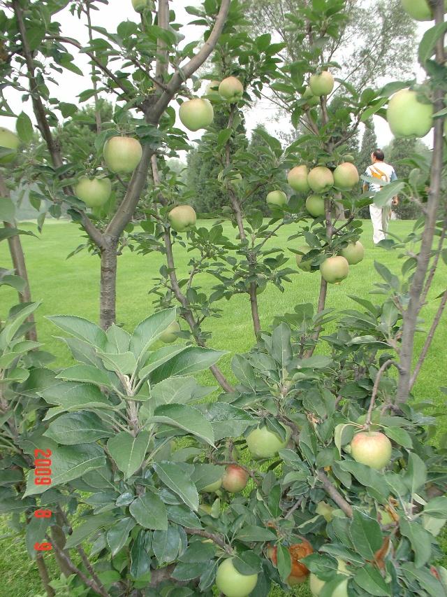 苹果树上挂满了红绿相间的苹果