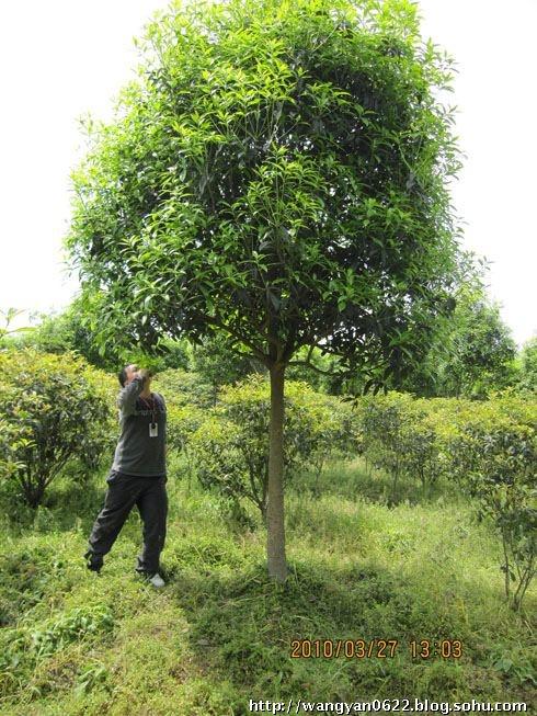 一颗桂花树,儿子6年后的大学学费有了着落