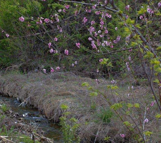 北方森林动物园丁香