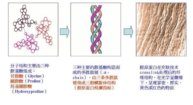 胶原蛋白的基本结构由三条多胜肽链互相缠绕成超螺旋结构,每条多胜肽约有一千个氨基酸,分子量约为10万个道尔顿,一分子胶原蛋白其分子量约为 30万道尔顿。这些胶原蛋白分子再相互交联成网状结构后并与弹力蛋白及多醣类形成富有弹性的结缔组织,提供支撑、保护功能及各种机械性质,并赋予皮肤弹性与强度。 三、胶原蛋白的分类以及各型胶原蛋白存在的部位: