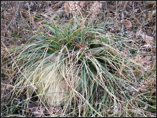 野生崂峪苔草:2008年12月27日