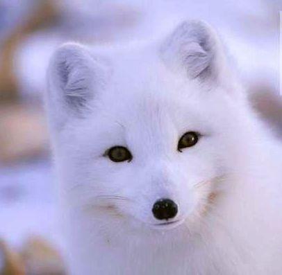 拥着夜色入睡的白狐狸