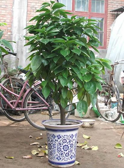 """这种被称作""""平安树""""的观叶植物"""