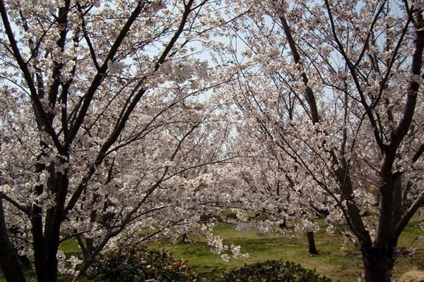 中山公园其中一条660米长的樱花街,道路两旁种满了樱花树,游客仿佛置