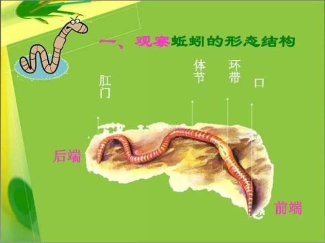 土壤里的小动物-蚯蚓