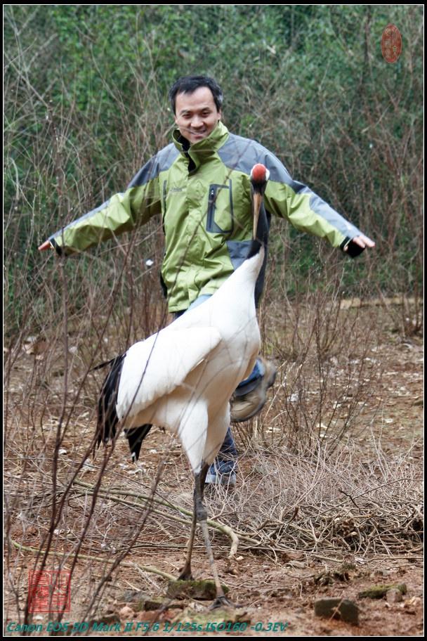 在岛上的一个鹤园里,有100多只人工驯养的鹤,它们大部分是受伤后被
