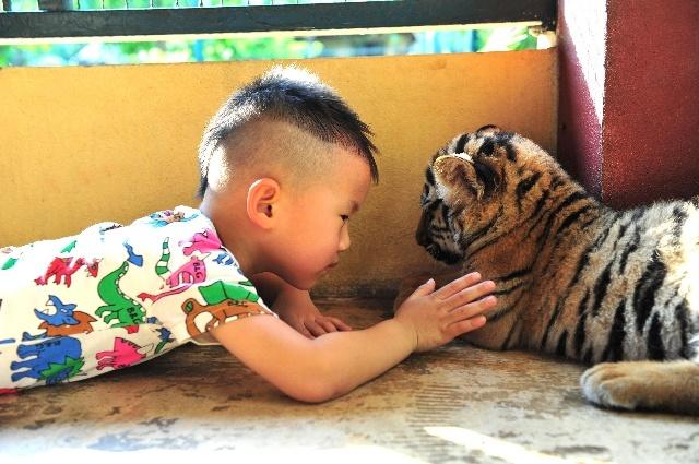 小老虎很快就喜欢他了,开始注意了丁丁的脚丫儿.
